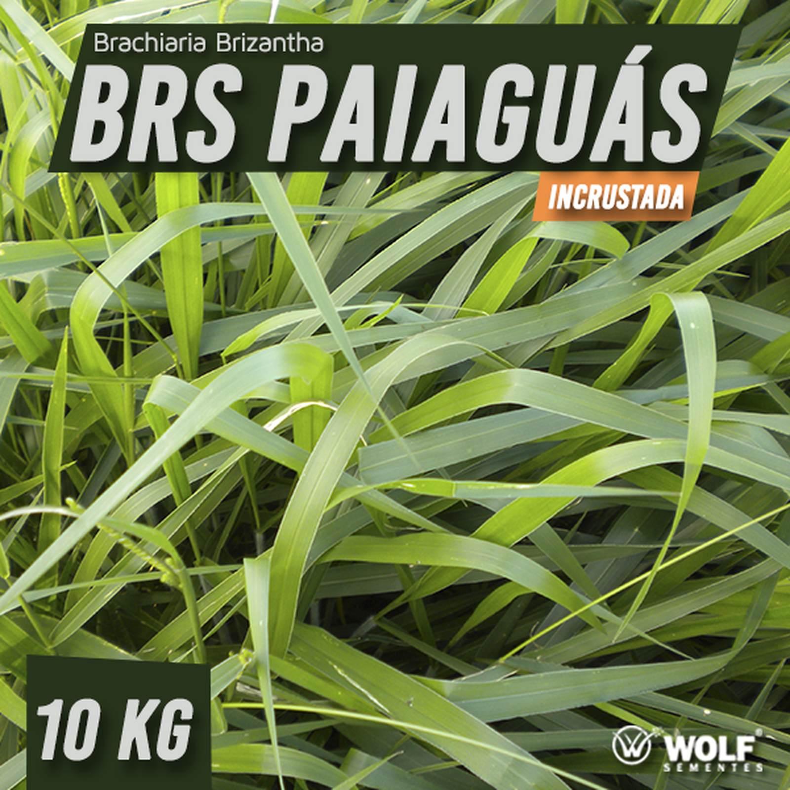 Sementes para Capim PAIAGUÁS Incrustada (Saco de 10kg)