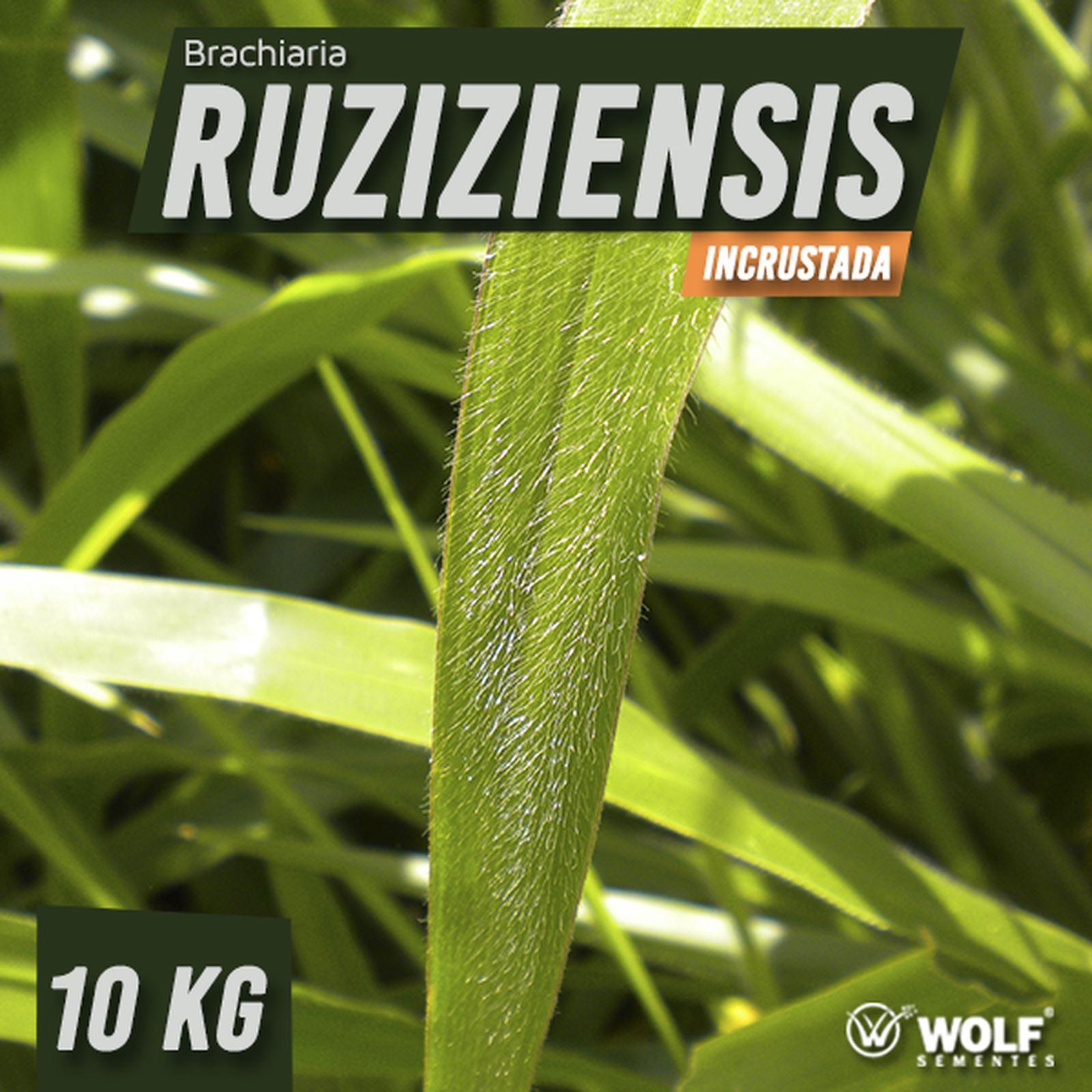 Sementes para Capim. RUZIZIENSIS Incrustada (Saco de 10kg)