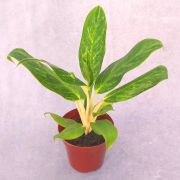Aglaonema Queen - Pote 12 (Aglaonema 'Queen')