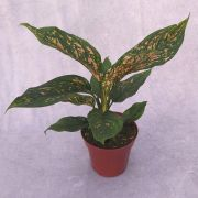 Aglaonema Red - Pote 12 (Aglaonema 'Red')