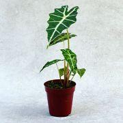 Alocasia Polly - Pote 12 (Alocasia amazonica 'Poly')
