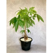 Árvore do Dinheiro - Pote 25 (Pachira glabra)