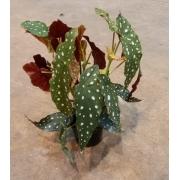 Begônia Maculata - Pote 15 (Begonia maculata)