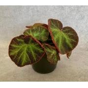 Begônia Sementacea - Pote 15 (Begonia x sementaceae)