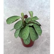 Calatéia Amagris - Pote 12 (Maranta leuconeura