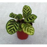 Calatéia Makoyana - Pote 12 (Calathea makoyana)