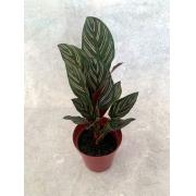 Calatéia Ornata - Pote 12 (Calathea ornata)