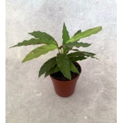 Calatéia Rufibarba  - Pote 12 (Calathea rufibarba)