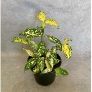 Dracena Confete - Pote 14 (Dracaena godseffiana)