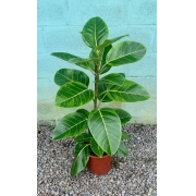 Ficus Altissima - Pote 24 (Ficus altissima)
