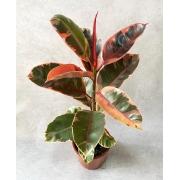 Ficus Elástica Rubi - Pote 24 (Ficus elastica)