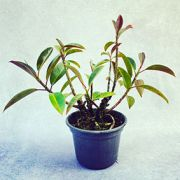 Ficus Elástica Rubro - Pote 24