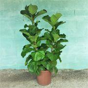 Ficus Lyrata Folha Grande - Pote 40 (Ficus lyrata)