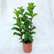 Ficus Lyrata Bambino - Pote 24 (Ficus lyrata)