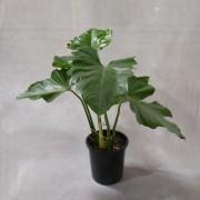 Filodendro Ondulatum - Pote 24 (Philodendron undulatum)