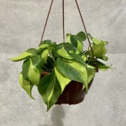 Filodendro Pendente Brasil - Cuia 21 (Philodendron scandens 'Brasil')
