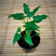 Filodendro Xanadú - Pote 14 (Philodendron xanadu)