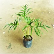 Filodendro Guaimbê (Philodendron bipinnatfidum)