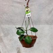 Hoya Australis - Cuia 21 (Hoya australis)