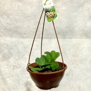 Hoya Coração - Cuia 21 (Hoya kerrii)