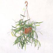 Hoya Pendente - Cuia 21 (Hoya shepherdii)