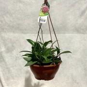 Hoya Silver Pink - Cuia 21 (Hoya carnosa 'Silver Pink')