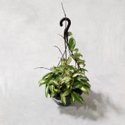 Hoya Tricolor Variegata - Cuia 21 (Hoya carnosa 'Variegata')