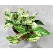 Jibóia Branca - Cuia 21 (Epipremnum aureum)