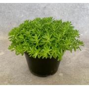 Sedum Carpete - Pote 14 (Sedum japonicus)