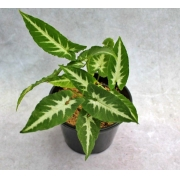 Singônio Veludo - Pote 14 (Syngonium wendlandii)