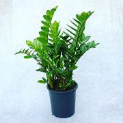 Zamioculca - Pote24 (Zamioculca zamiifolia)