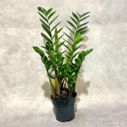 Zamioculca - Média - Pote 17 (Zamioculca zamiifolia)