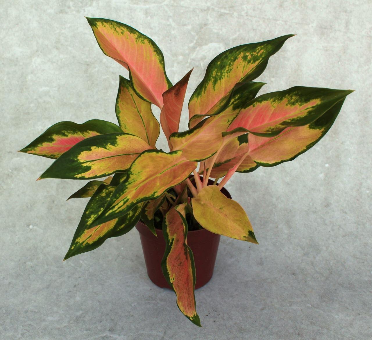 Aglaonema Lawan - Pote 12 (Aglaonema spp)