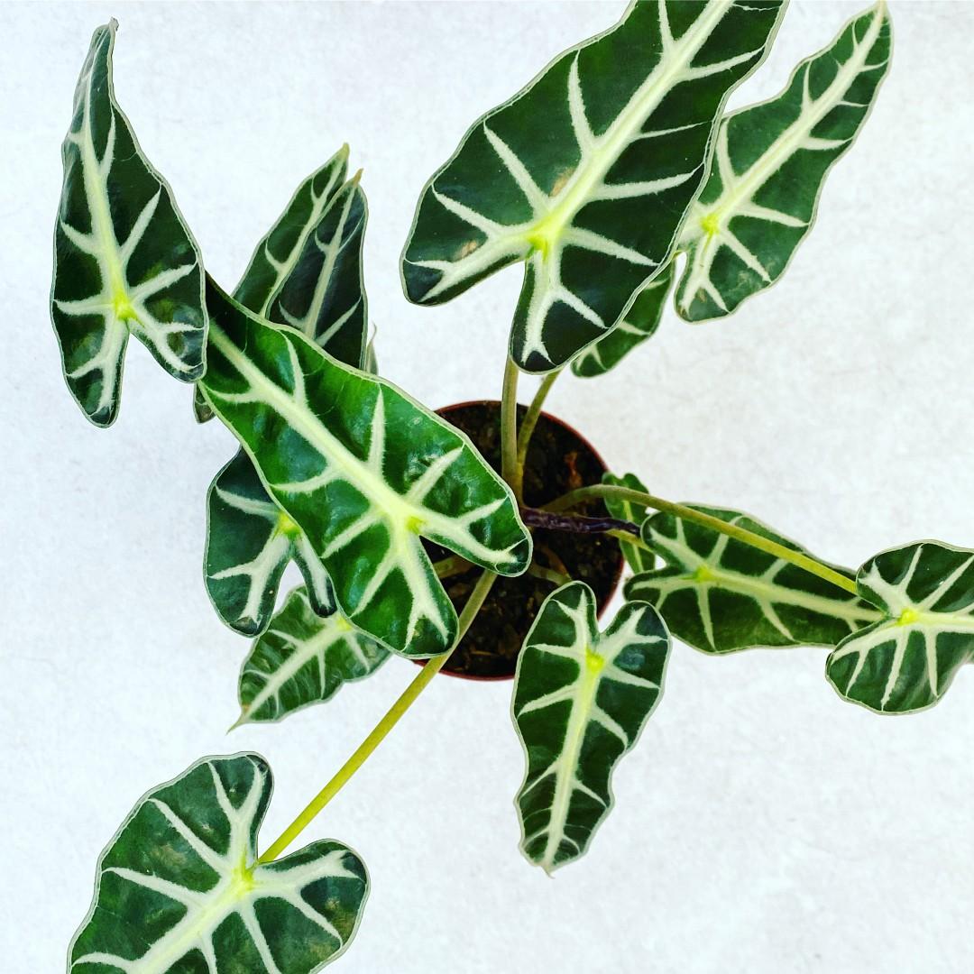 Alocasia Piccolini - Pote 12 (Alocasia 'Piccolini')