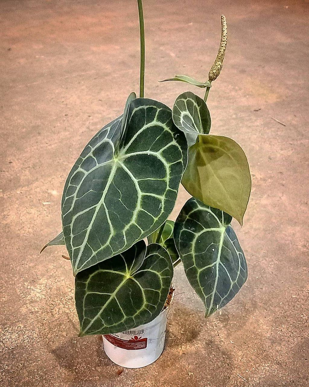 Antúrio Clarinervium - Pote 9 (Anthurium clarinervium)