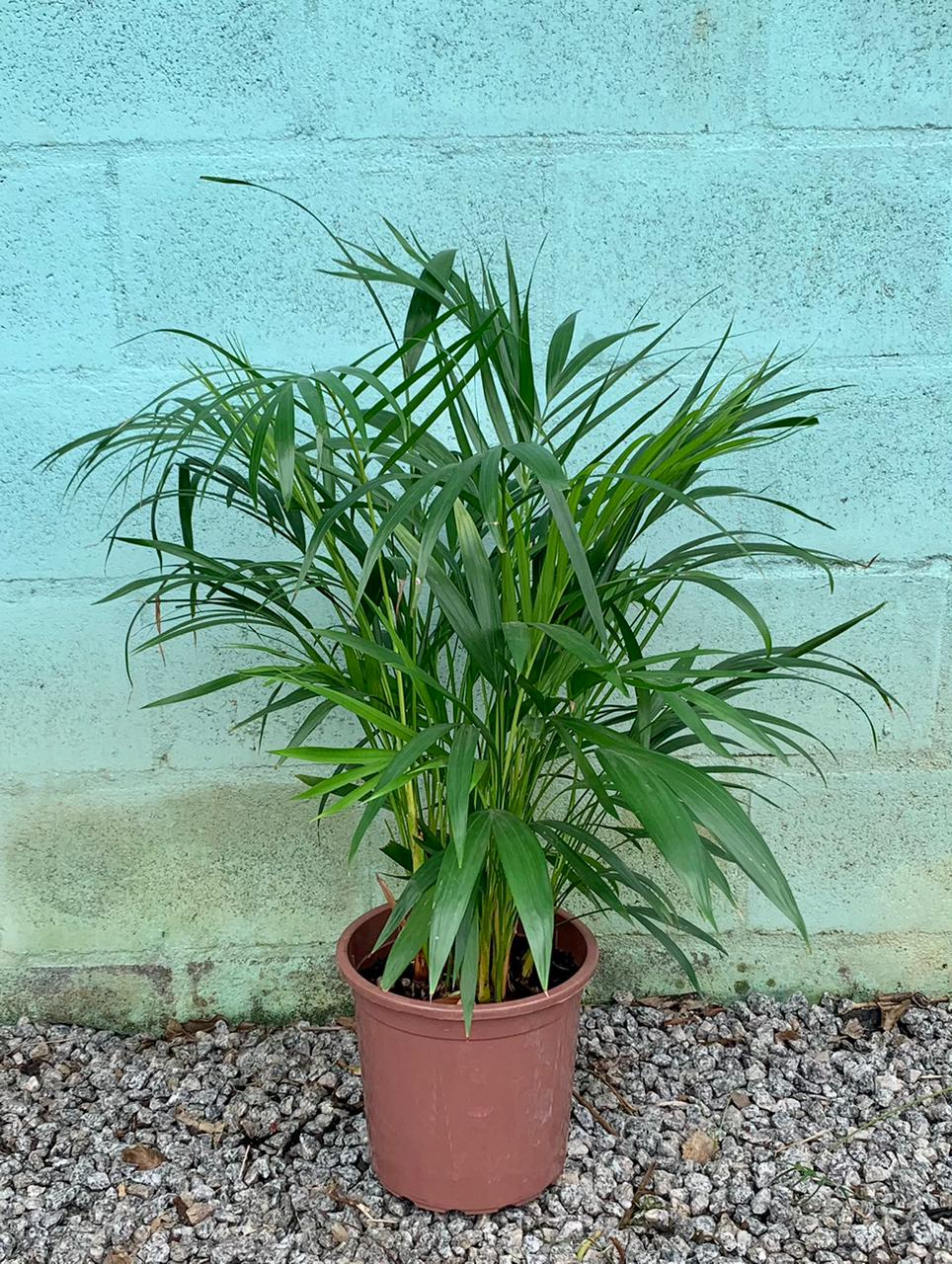 Areca Bambu - Pote 24 (Dypsis lutescens)