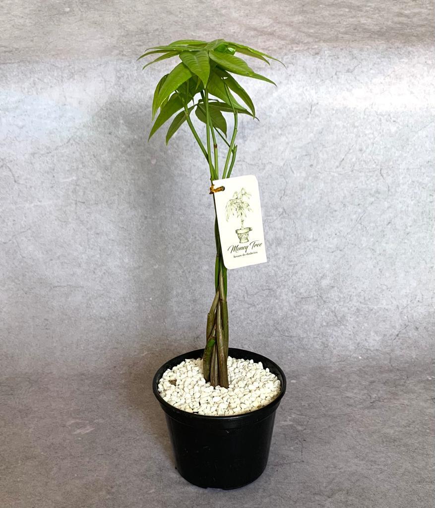 Árvore do Dinheiro - Pote 15 (Pachira glabra)