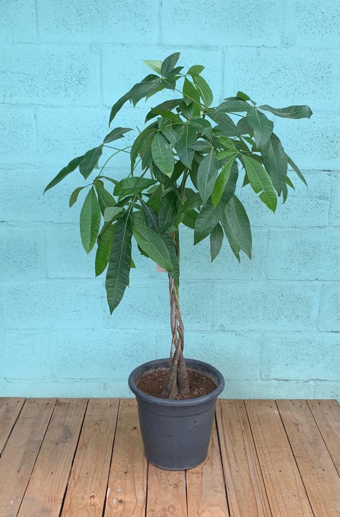 Árvore do Dinheiro - Pote 30 (Pachira glabra)