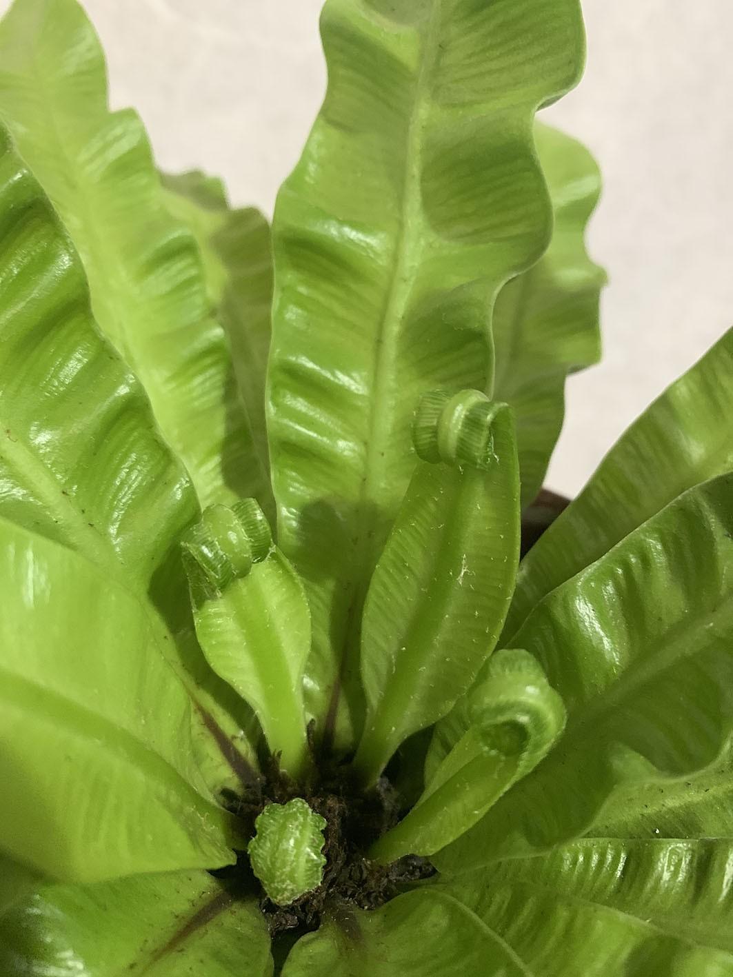 Asplênio Ondulado - Pote 15 (Asplenium nidus)