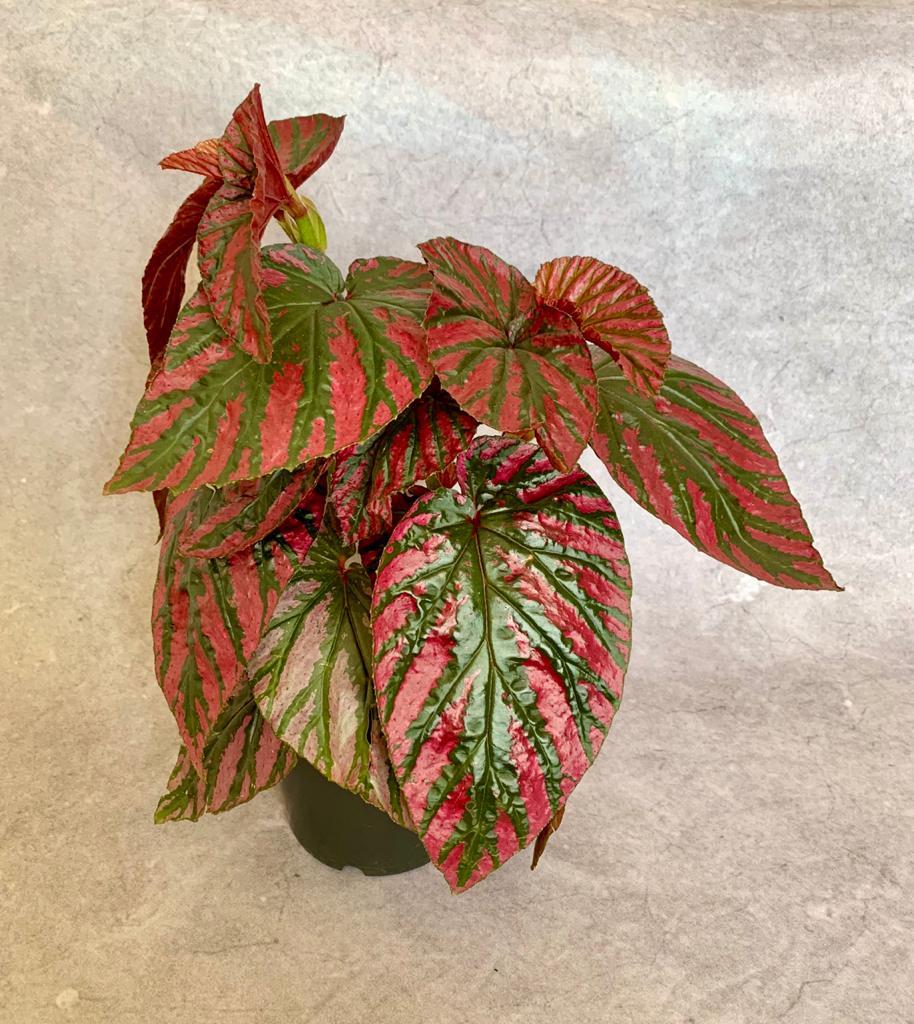 Begônia Brevirimosa - Pote 15 (Begonia brevirimosa)