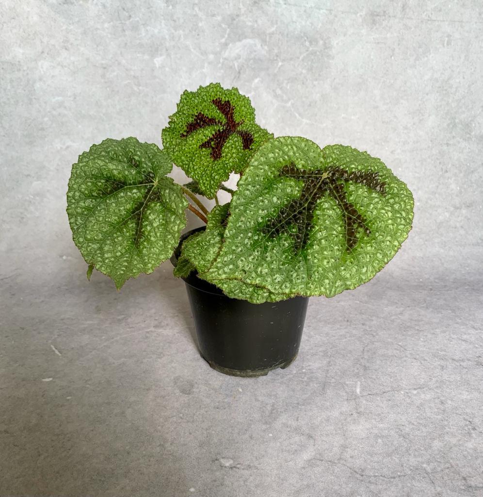 Begônia Cruz de Ferro - Pote 14  (Begonia masoniana)