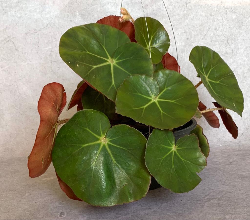 Begônia Redonda - Cuia 21 (Begonia erythrophylla)
