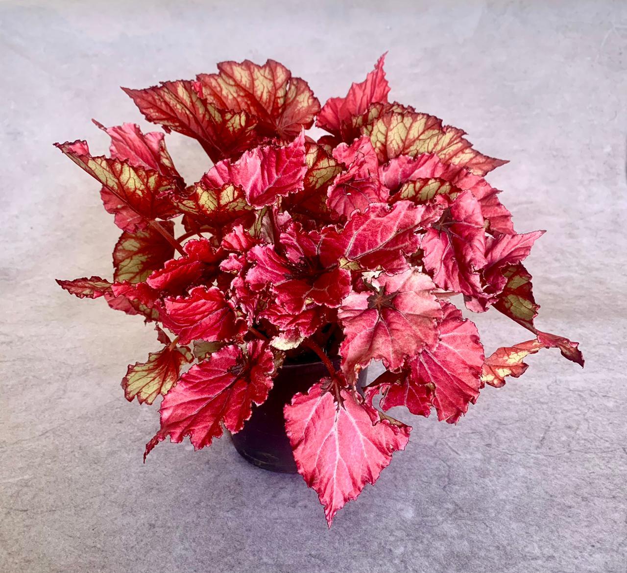 Begônia Beleaf- Pote 15 (Begonia 'beleaf')