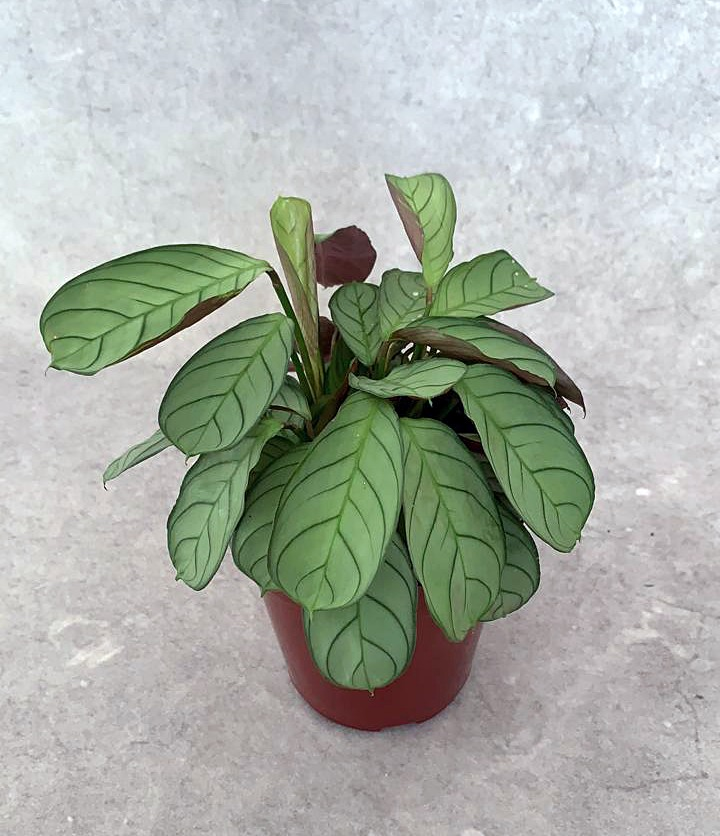"""Calatéia Amagris - Pote 12 (Maranta leuconeura """"Erythroneura"""")"""