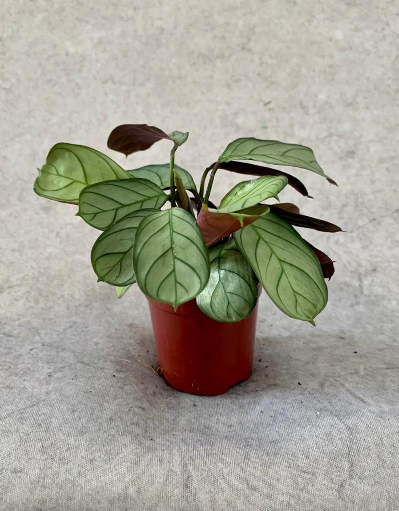"""Calatéia Amagris - Pote 6 (Maranta leuconeura """"Erythroneura"""")"""