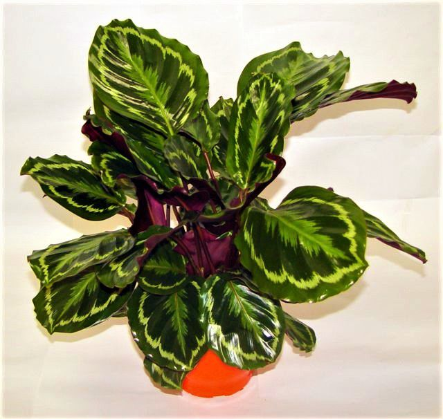 Calatéia Medalion - Pote 12 (Calathea rosea-picta 'Medalion')