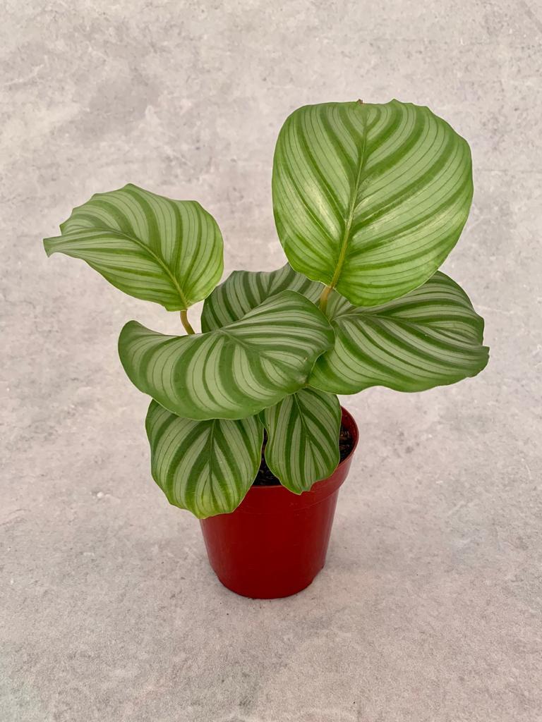 Calatéia Melancia - Pote 12 (Calathea orbifolia)
