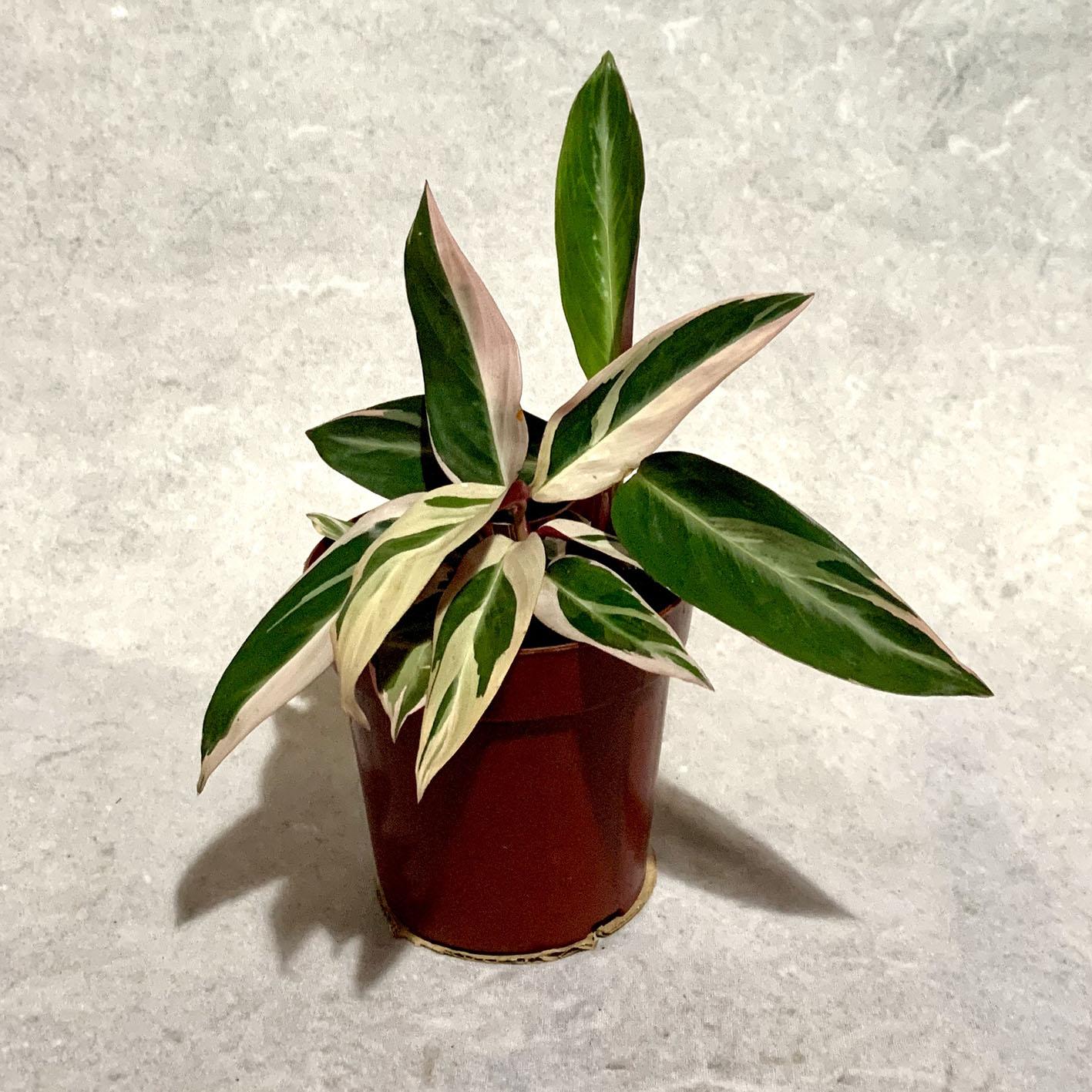 Calatéia Tricolor - Pote 12 (Sromanthe sanguinea 'variegata')