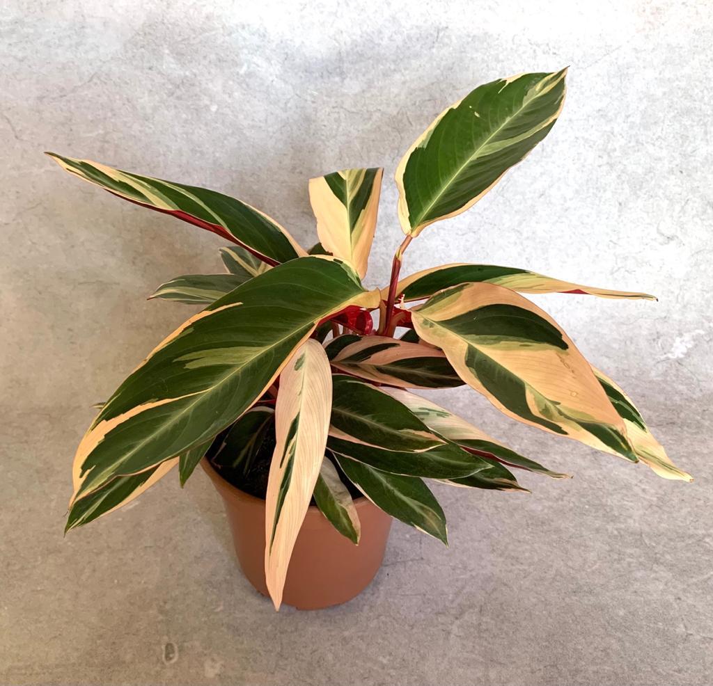 Calatéia Tricolor - Pote 17 (Sromanthe sanguinea 'variegata')