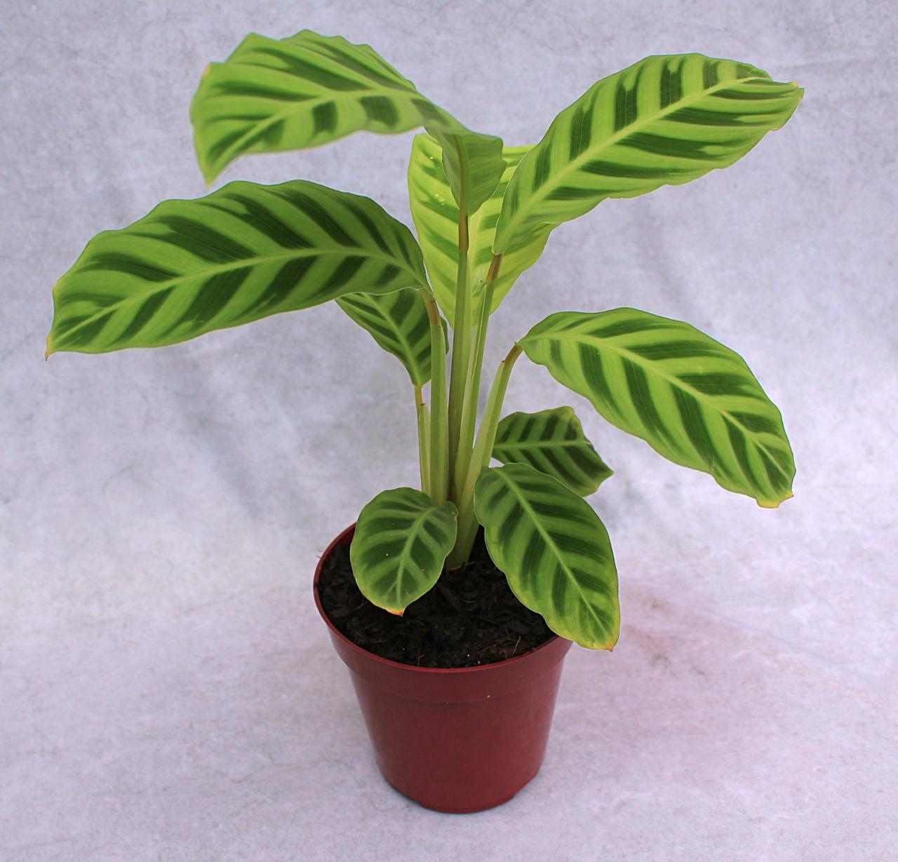 Calatéia Zebrina - Pote 12 (Calathea zebrina)